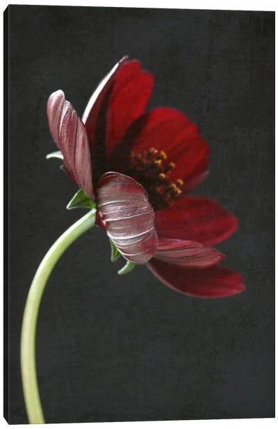 Chocolate Cosmos Flower I Canvas Art Print