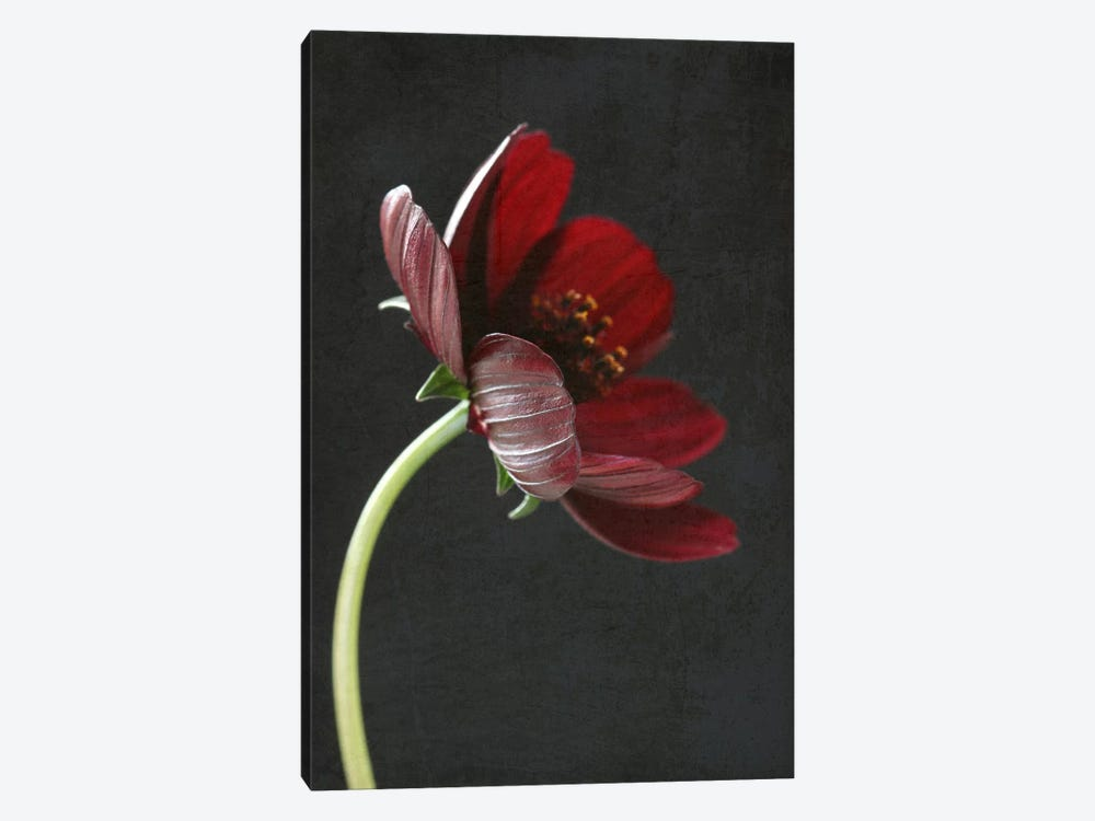 Chocolate Cosmos Flower I by Alyson Fennell 1-piece Art Print