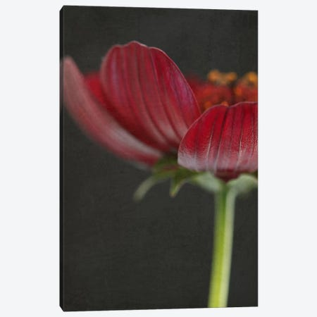 Chocolate Cosmos Flower II Canvas Print #FEN16} by Alyson Fennell Canvas Art Print