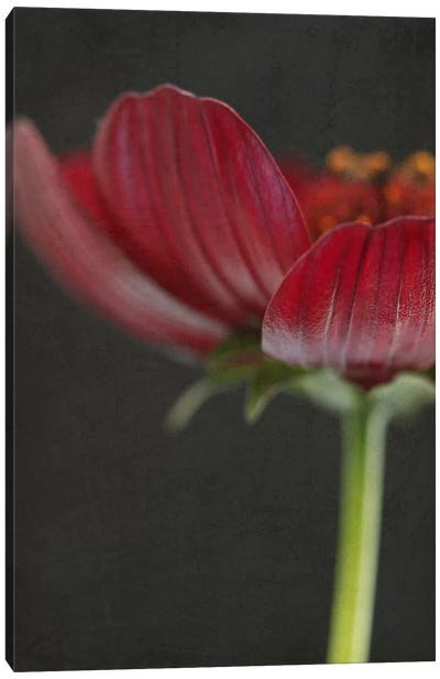 Chocolate Cosmos Flower II Canvas Art Print