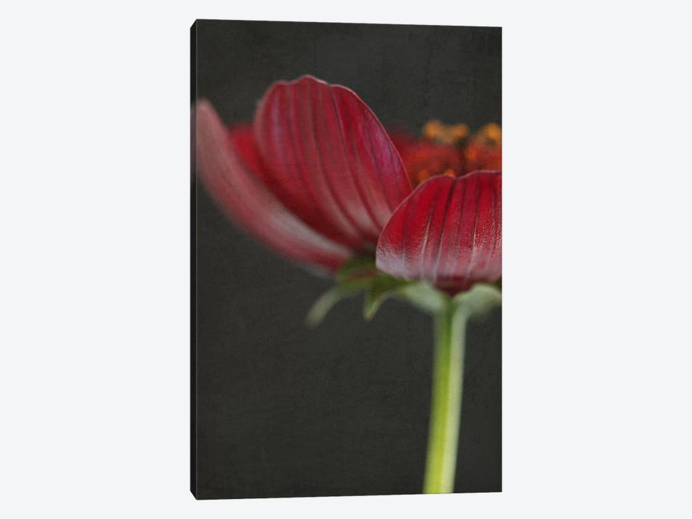 Chocolate Cosmos Flower II by Alyson Fennell 1-piece Canvas Art