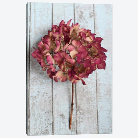 Deep Pink Hydrangea Flower Canvas Print #FEN19} by Alyson Fennell Canvas Art