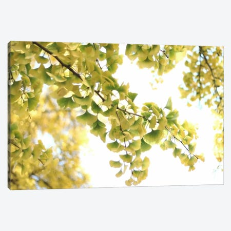 Golden Ginkgo Biloba Canvas Print #FEN22} by Alyson Fennell Canvas Print