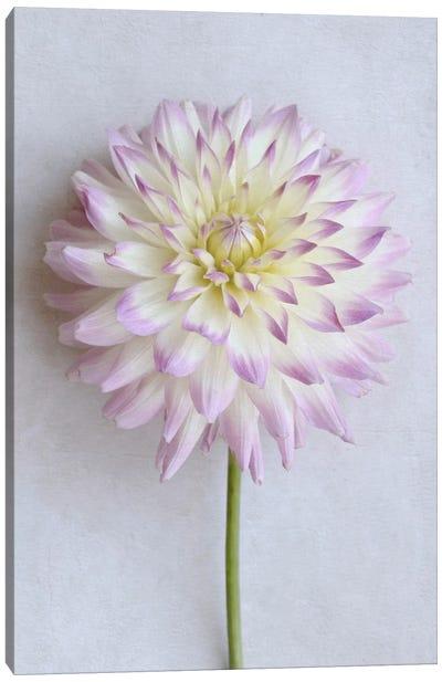 Pastel Pink Dahlia Canvas Art Print
