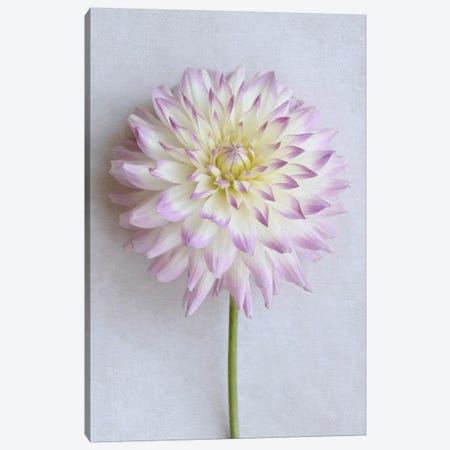 Pastel Pink Dahlia Canvas Print #FEN34} by Alyson Fennell Canvas Art Print