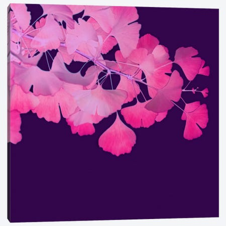 Pink Ginkgo Biloba II Canvas Print #FEN41} by Alyson Fennell Canvas Art Print
