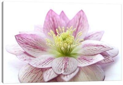 Pink Hellebore Flower Canvas Art Print