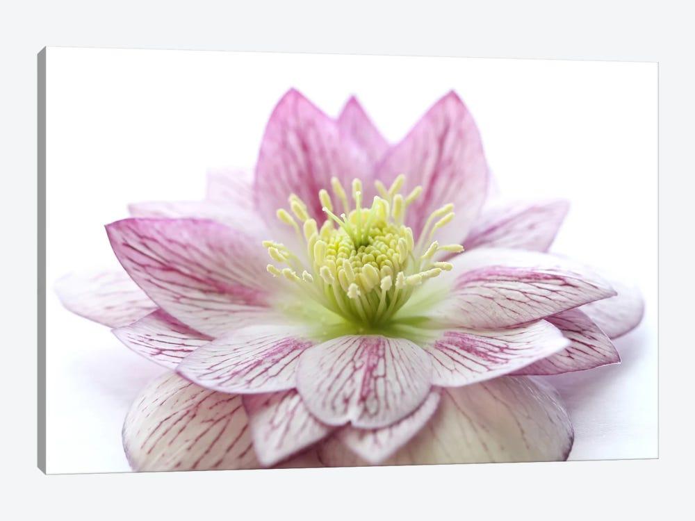 Pink Hellebore Flower by Alyson Fennell 1-piece Canvas Art