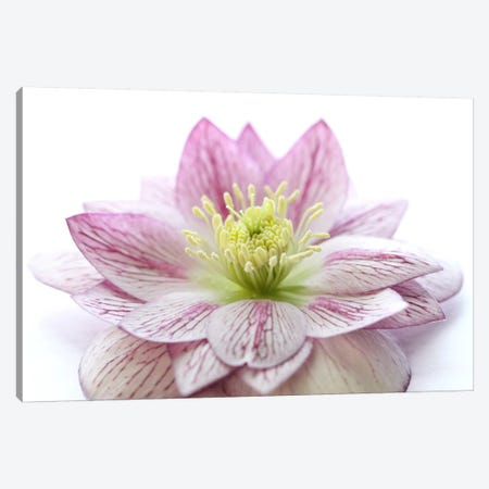 Pink Hellebore Flower Canvas Print #FEN43} by Alyson Fennell Art Print
