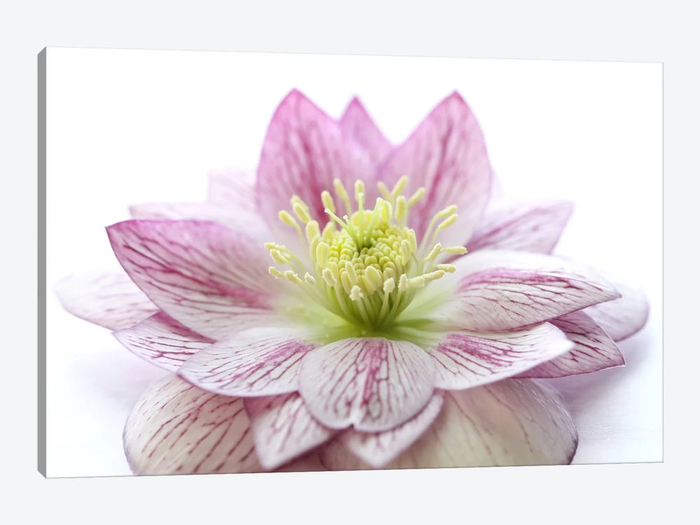 Pink Hellebore Flower by Alyson Fennell 1-piece Canvas Art