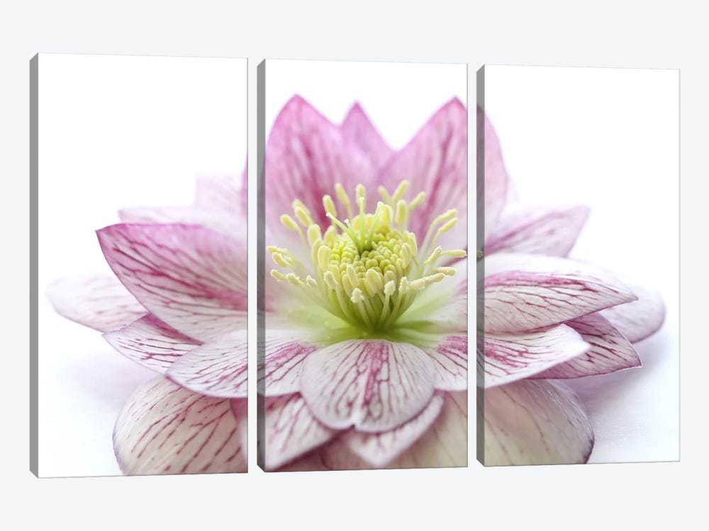 Pink Hellebore Flower by Alyson Fennell 3-piece Canvas Art