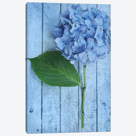 Powder Blue Hydrangea Canvas Print #FEN46} by Alyson Fennell Canvas Art