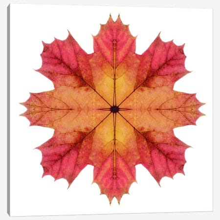 Red And Pink Maple Leaf Star II Canvas Print #FEN48} by Alyson Fennell Art Print