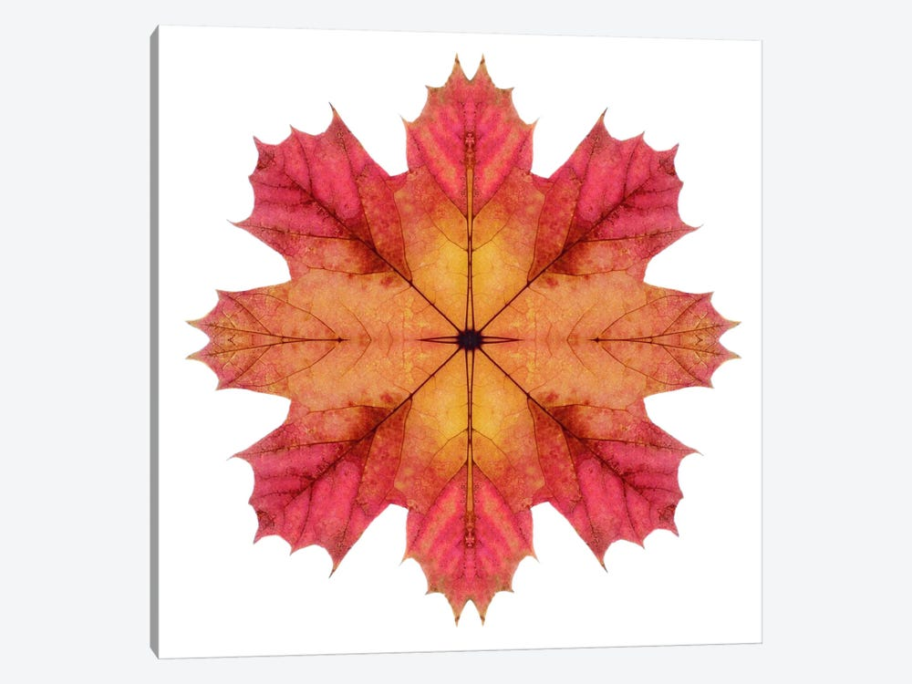 Red And Pink Maple Leaf Star II by Alyson Fennell 1-piece Canvas Art Print