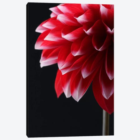 Red And White Dahlia Canvas Print #FEN49} by Alyson Fennell Art Print