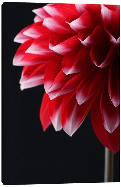 Red And White Dahlia Canvas Art Print