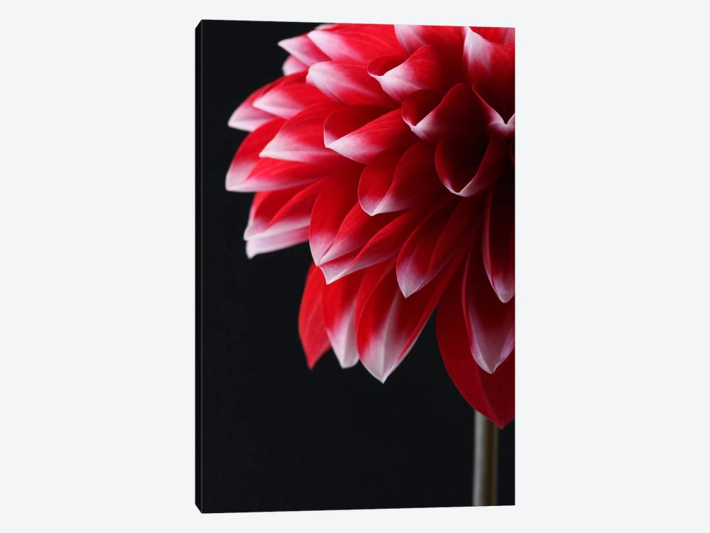 Red And White Dahlia by Alyson Fennell 1-piece Canvas Art