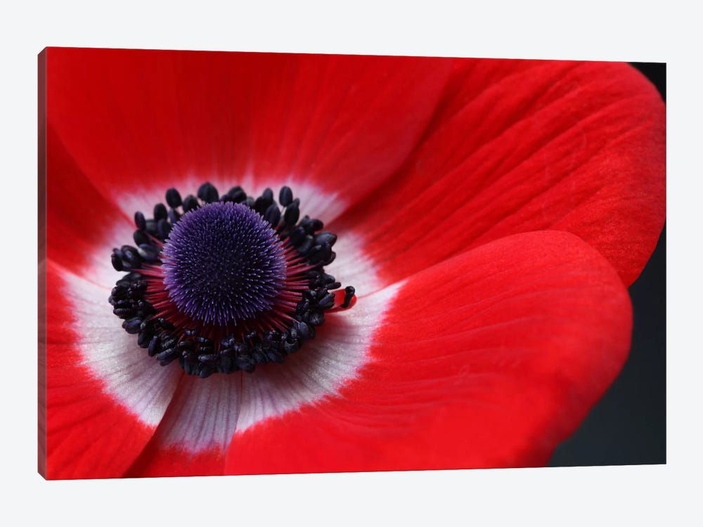Red Anemone by Alyson Fennell 1-piece Canvas Wall Art