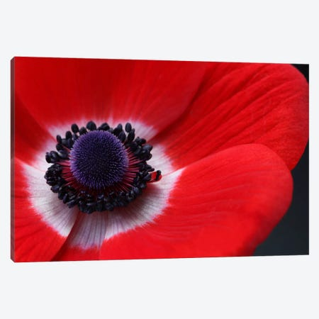 Red Anemone Canvas Print #FEN50} by Alyson Fennell Canvas Wall Art