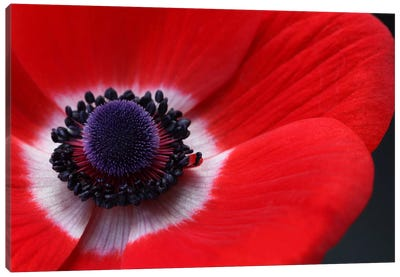 Red Anemone Canvas Art Print