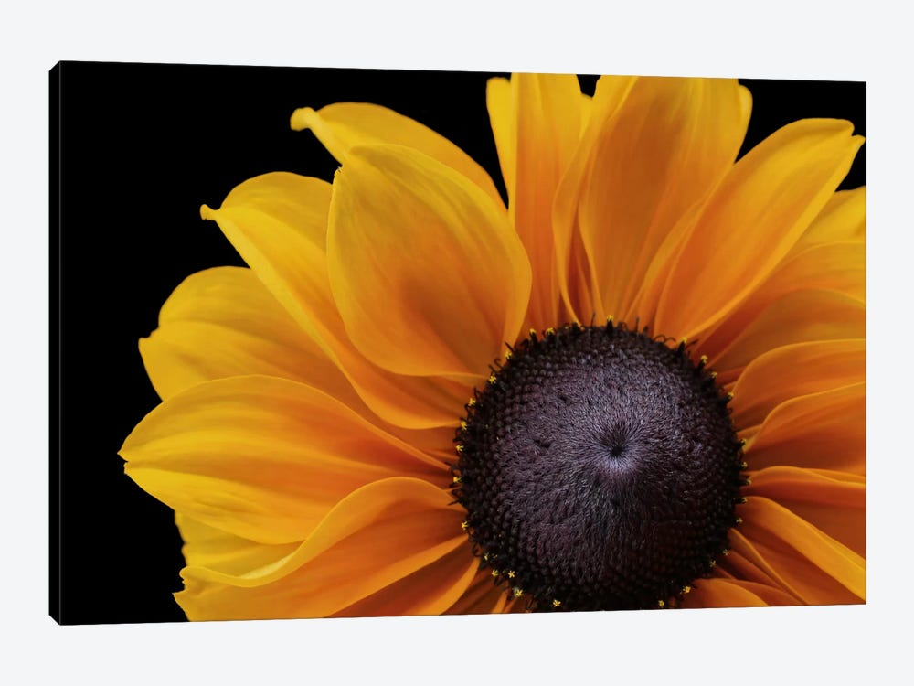 Rudbeckia 'Indian Summer' by Alyson Fennell 1-piece Canvas Print