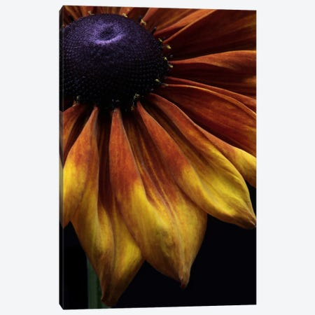 Rudbeckia Summerina Canvas Print #FEN54} by Alyson Fennell Art Print