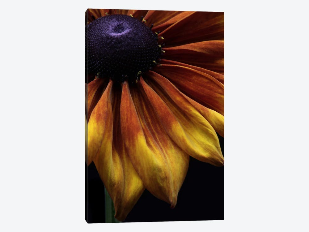 Rudbeckia Summerina by Alyson Fennell 1-piece Canvas Artwork