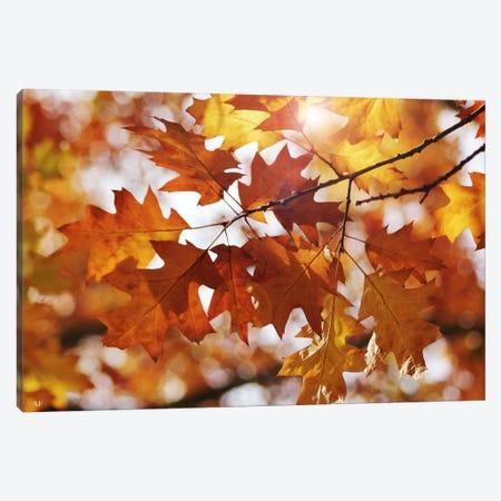 Autumn Oak Leaves Canvas Print #FEN5} by Alyson Fennell Canvas Art Print