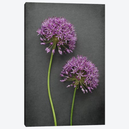 Allium Canvas Print #FEN60} by Alyson Fennell Art Print