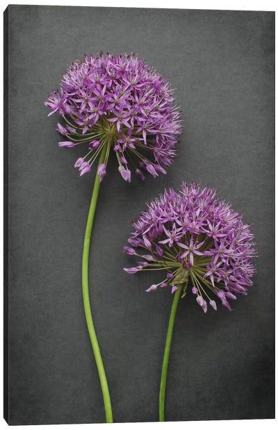 Allium Canvas Art Print