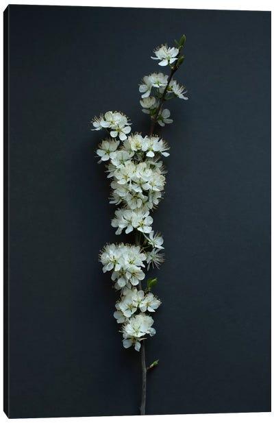 Blackthorn Blossom Canvas Art Print
