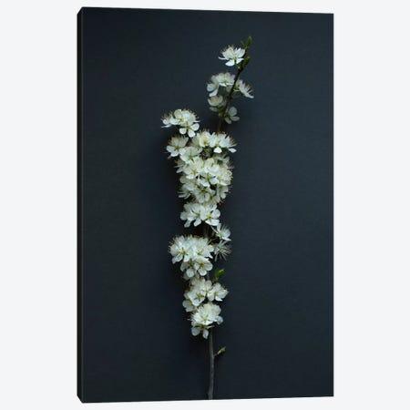 Blackthorn Blossom Canvas Print #FEN61} by Alyson Fennell Canvas Art Print