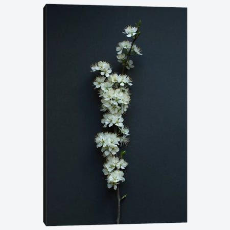 Blackthorn Blossom 3-Piece Canvas #FEN61} by Alyson Fennell Canvas Art Print