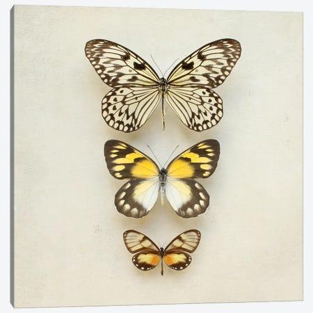Butterflies Three Canvas Print #FEN62} by Alyson Fennell Canvas Print