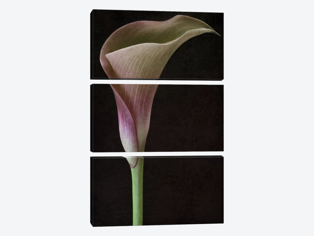 Calla Lily II by Alyson Fennell 3-piece Canvas Wall Art