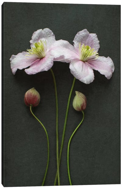 Clematis Flowers And Buds Canvas Art Print