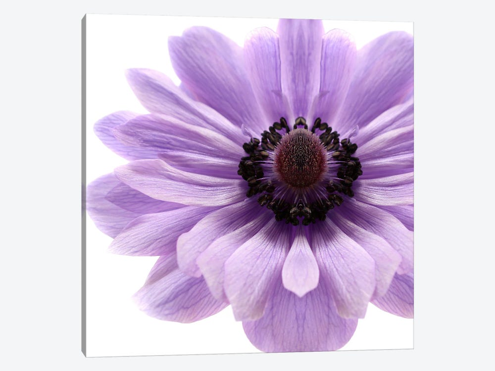 Pale Lilac Anemone by Alyson Fennell 1-piece Canvas Wall Art