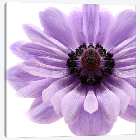 Pale Lilac Anemone 3-Piece Canvas #FEN69} by Alyson Fennell Art Print