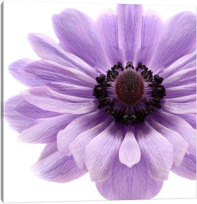 Pale Lilac Anemone Canvas Art Print