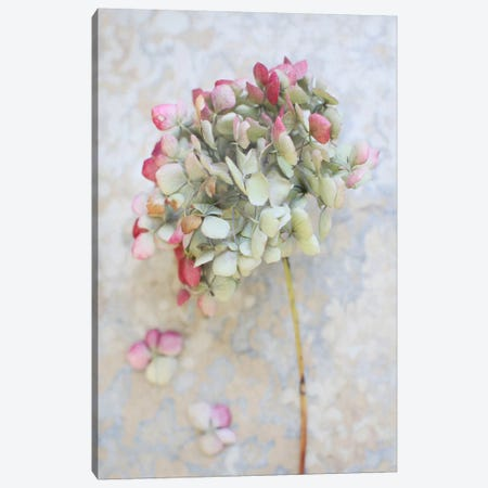Pastel Dried Hydrangea I Canvas Print #FEN70} by Alyson Fennell Canvas Art