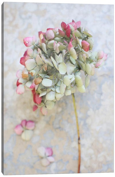 Pastel Dried Hydrangea I Canvas Art Print
