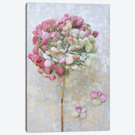 Pastel Dried Hydrangea II Canvas Print #FEN71} by Alyson Fennell Canvas Artwork