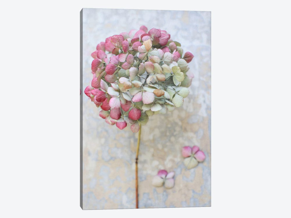 Pastel Dried Hydrangea II by Alyson Fennell 1-piece Canvas Print