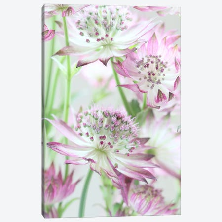 Pastel Pink Astrantia Flowers Canvas Print #FEN72} by Alyson Fennell Canvas Artwork