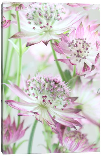 Pastel Pink Astrantia Flowers Canvas Art Print