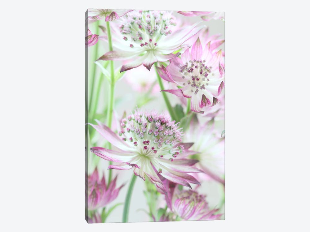 Pastel Pink Astrantia Flowers 1-piece Canvas Artwork