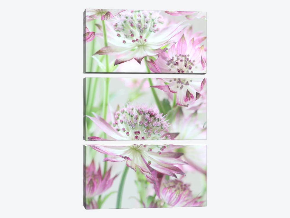 Pastel Pink Astrantia Flowers by Alyson Fennell 3-piece Canvas Art