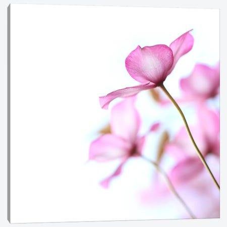 Pink Clematis Canvas Print #FEN80} by Alyson Fennell Art Print