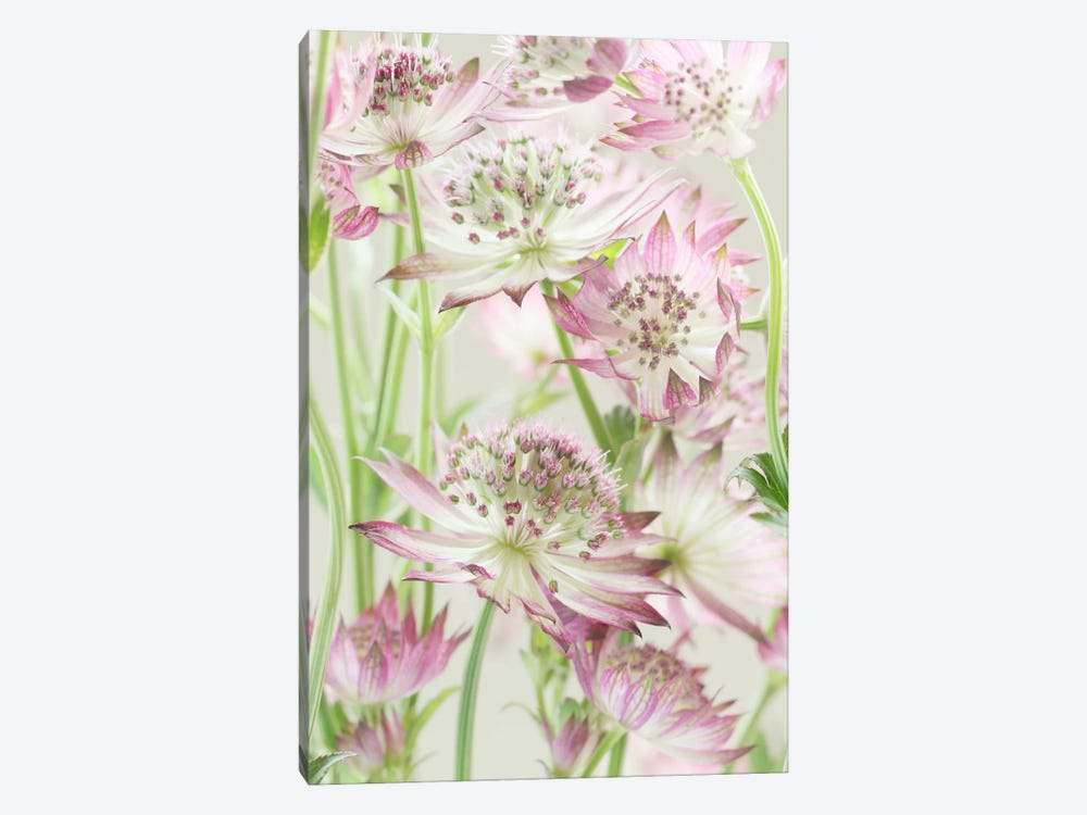 Pink Pastel Astrantia Flowers II by Alyson Fennell 1-piece Canvas Artwork