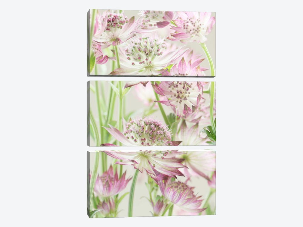 Pink Pastel Astrantia Flowers II by Alyson Fennell 3-piece Canvas Artwork